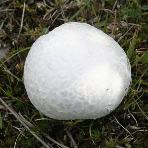 Giant puffball