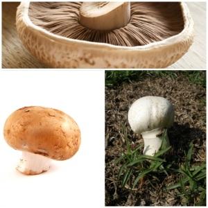 Chestnut, button and Portobello mushroom